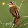 Isoperla - Bird Song Id Automatic Recognition & Reference - Birds of the British Isles artwork