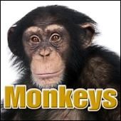 Baboon Baboon, Monkey, Close, Birds Singing, Animal, Safari, Primates - Monkeys, Chimps, Apes