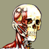 Flash Anatomy Head & Neck Muscles - Free