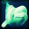 Beluga Whale - Cold Ocean Sounds Ringtones and Alert Noises