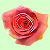 Hipster Roses Wiki