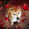 Shiba Inu Wallpapers HD-Cotações e Arte Fotos