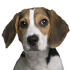 Beagle Sounds & Dog Barking Wiki