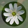 Mobile Flora - Wild Flowers