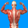 Human Muscular System Quiz