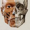 Anatomía 3D para el artista | v. 1.2