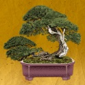 Twit Bonsai icon