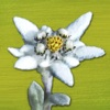 AlpineFlower Finder Europe – a Swiss field guide do discover and identify the wildflowers of the Alps