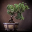 Bonsai Tree - A Guide to Growing Bonsai and Making Bonsai icon