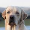 Lovely Secrets Labradors