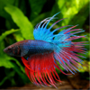 Betta Fish - Everything You Want to Know About Betta Fish