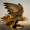 Falconry 101:Handbook and Training Guide Icon