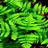 Fern Plants Wallpapers HD- Quotes and Art Pictures