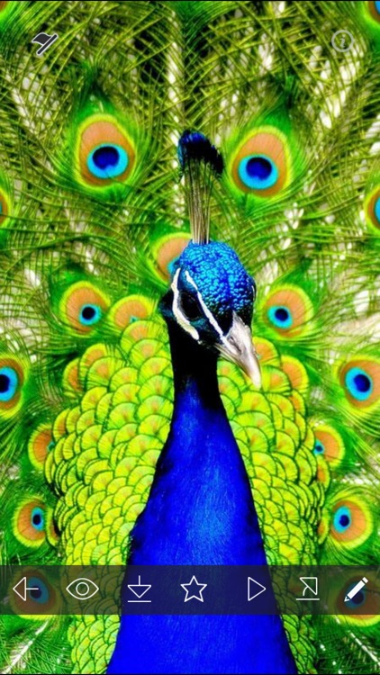 Peacock Wallpapers Hd White Peacock Pictures By Rakeshkumar Patel